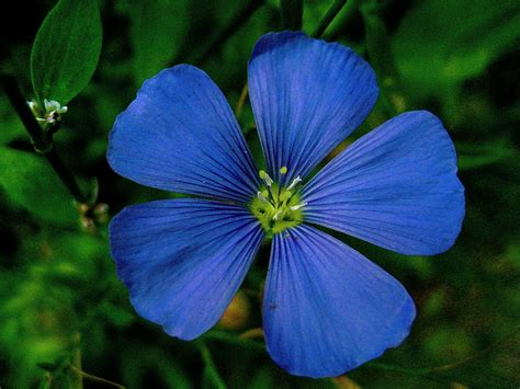 Meaning Of The Color Of Flowers Representative Meaning Of Blue Flower