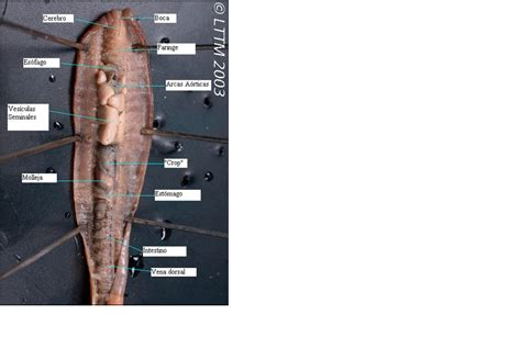 earthworm dissection mcgraw hill lumbricus terrestris dissection