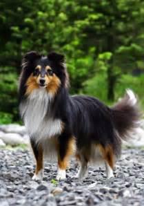 tri color sheltie shetland sheepdog puppy