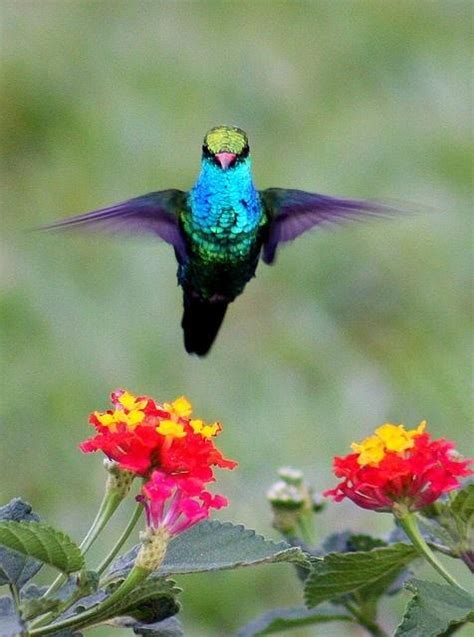 hummingbird and lantana colorful birds pinterest