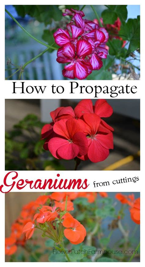 best 25 geraniums ideas on pinterest caring for