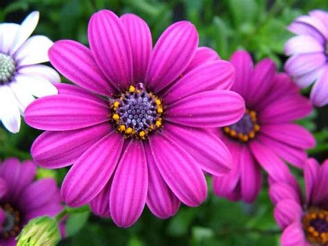 imagenes de flores margaritas related keywords suggestions for margaritas flores