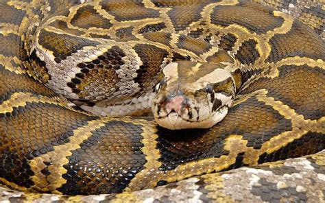 snake kills security guard  luxury bali hotel telegraph