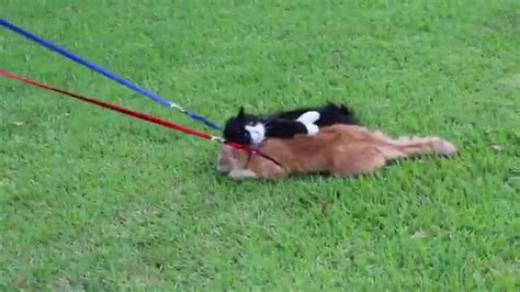 how to walk on leash simon the cat refuses to