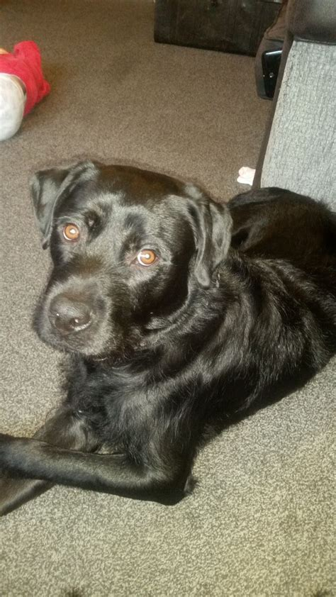 rottweiler labrador cross for sale rehoming labrador cross rottweiler lancashire pets4homes