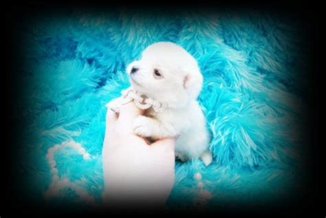 pomeranian puppies houston tx 4 x 4 for sale in autos post
