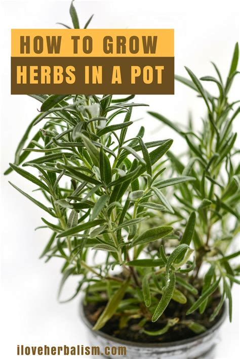 how to grow herbs top 5 herbs to grow in your own home i love herbalism