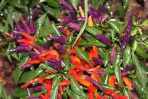 ornamental peppers in the landscape spice up your flower beds and your taste buds old world
