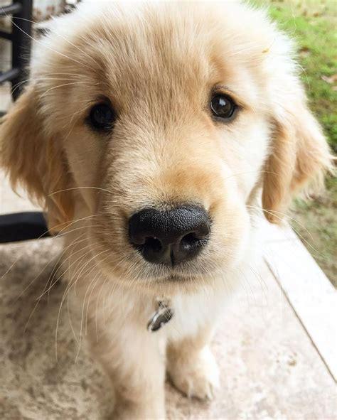 golden retriever protects baby 25 best ideas about golden retriever names on pupper doggo golden