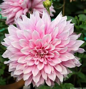 Flower Plants India - gallery for gt indias national flower drawing