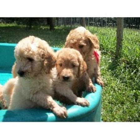 goldendoodle puppies for sale in knoxville tn teddy dogs in nashville tn breeds picture