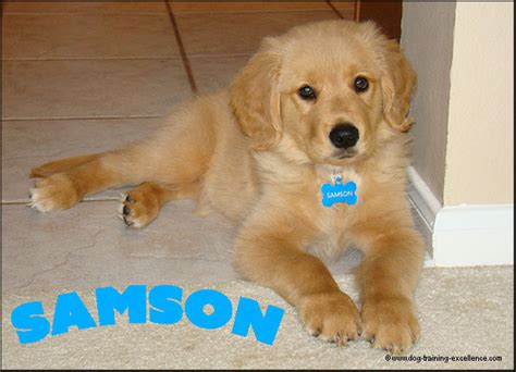 great golden retriever names 400 memorable golden retriever names to celebrate your new