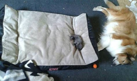 cats stealing dogs beds 16 cats that stole dog beds and didn t have a care in the