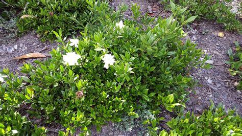 Gardenia Thrips Gardenia Augusta Radicans Alpine Nurseries