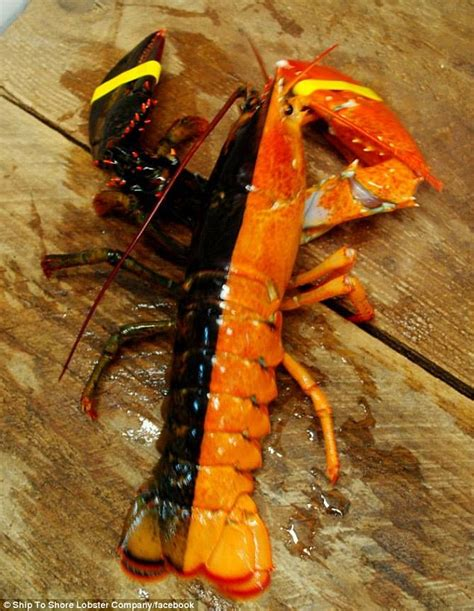 what color are lobsters fisherman catches 1 in 50 million multi colored lobster