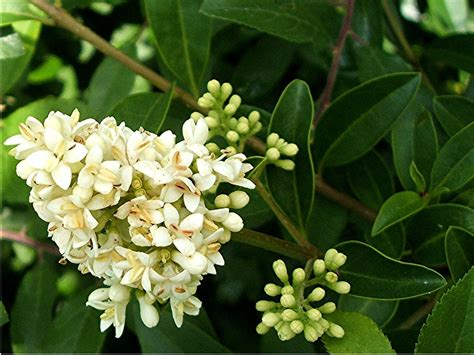 Shrubs That Flower In May - wild privet naturespot