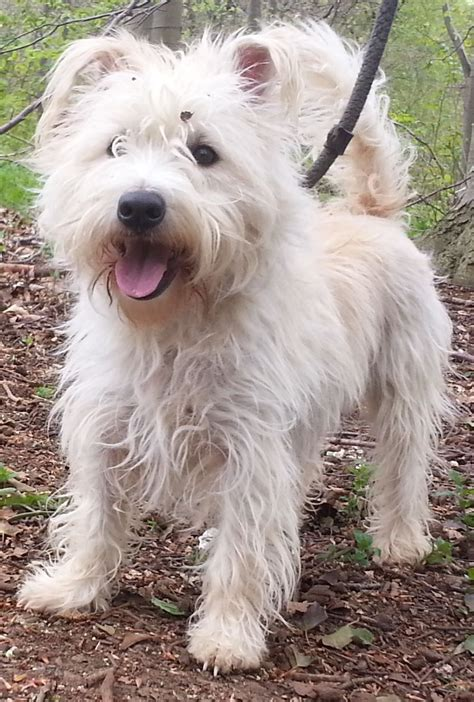 westie puppies for adoption rescue oslo westie cross peterborough cambridgeshire pets4homes