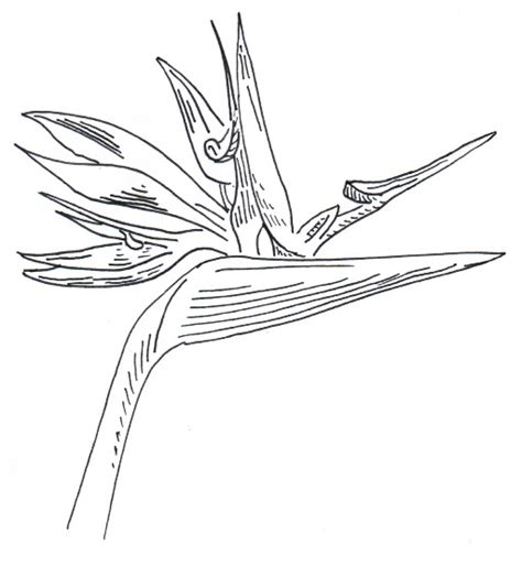 coloring pages bird of paradise chuck does art conch shell and bird of paradise coloring