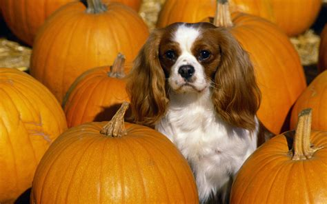 Cavalier King Charles Spaniel Wallpapers | HD Wallpapers