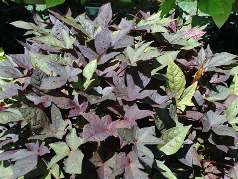 file batata doce ipomoea batatas jpg معرفی و راهنمای پرورش سبزی جات غیر برگی سیب زمینی شیرین