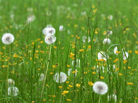 wallpaper grass flower dandelion flower images white flowers and green grass