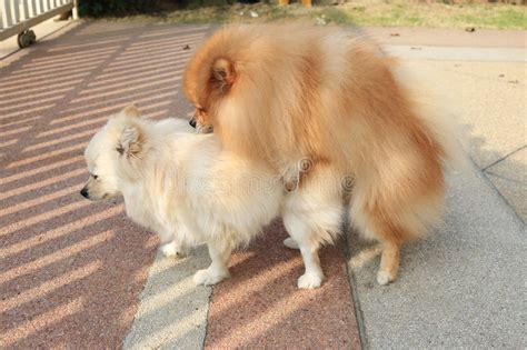 pomeranian mating pomeranian dogs mating stock photo image of grooming 42669082