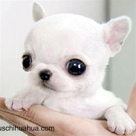 baby chihuahua puppies baby chihuahua