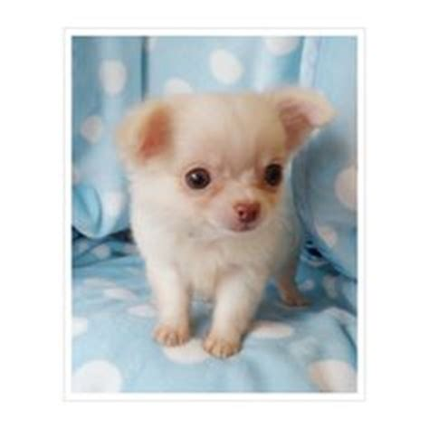 shorty puppies for sale in florida teacup chihuahua puppies for sale applehead chihuahuas puppy breeders food for