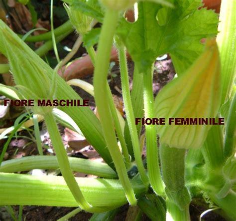 fiori maschili orto e ortaggi perch 233 le zucchine marciscono da piccole