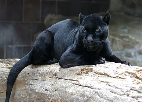 imágenes jaguar negro rio anzu reserve fundacion ecominga