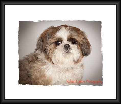 local shih tzu rescue shih tzu rescue minnesota breeds picture