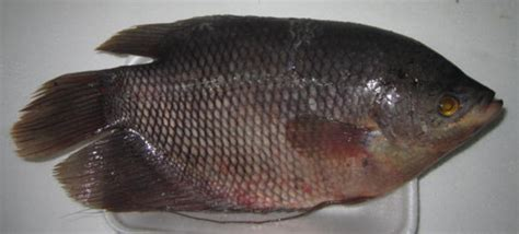 Pakan Burayak Ikan Gurame ikan gurame adalah ikan yang mahal mengapa bibitikan net