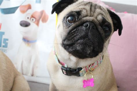 mel the pug the secret of pets with petplan