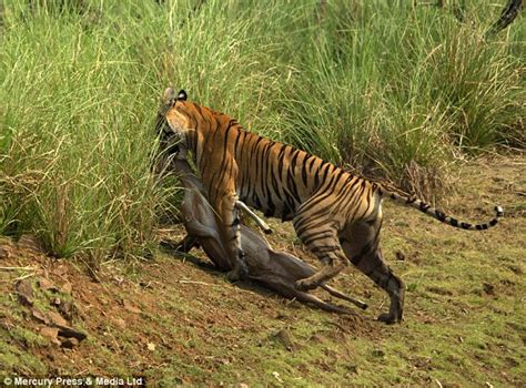 the tigers prey tiger photographed chasing herd of deer before killing its prey in indian nature reserve daily
