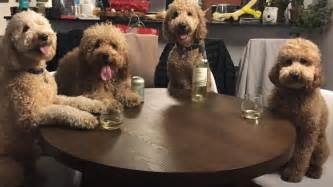 best food for goldendoodles these goldendoodles are best friends and lucky for us they take a lot of pics