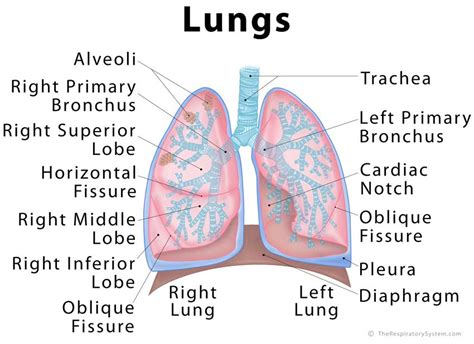 diagram of and lungs lungs definition location anatomy function diagram