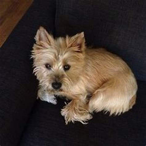 cairn terrier summer haircut cairn terrier after grooming this is a great cut for or