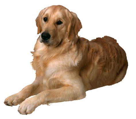 neutering golden retriever golden retriever study suggests neutering affects health animal naturopath