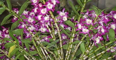 merawat tanaman  aneka tanaman hias dendrobium