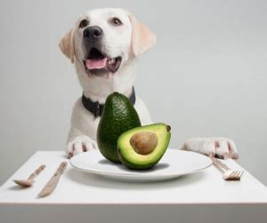 are avocados for dogs can dogs eat avocado side effects health benefits tips
