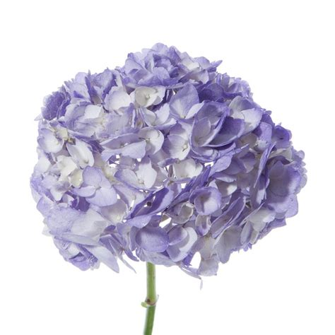 lavender hydrangea petite hydrangea types  flowers