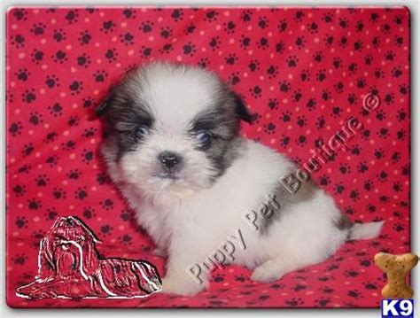 teacup shih tzu puppies for sale in houston shih tzu puppies for sale in cheap breeds picture