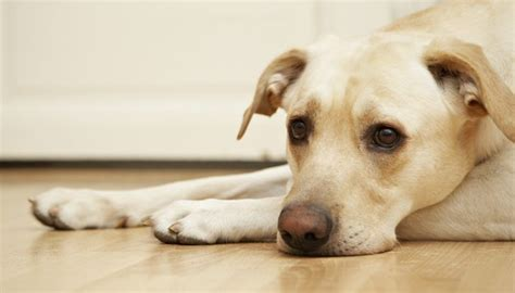 symptoms of pancreatitis in dogs with pancreatitis archives four legged guru