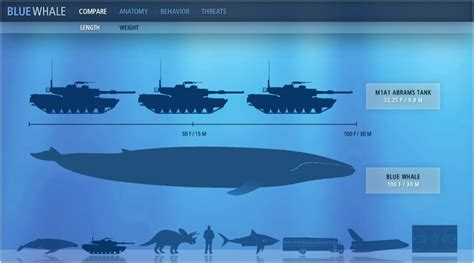 how big is a photo collection blue whale compared to