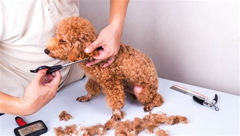 how much does it cost to groom a pomeranian grooming prices how much does it cost to groom a top tips