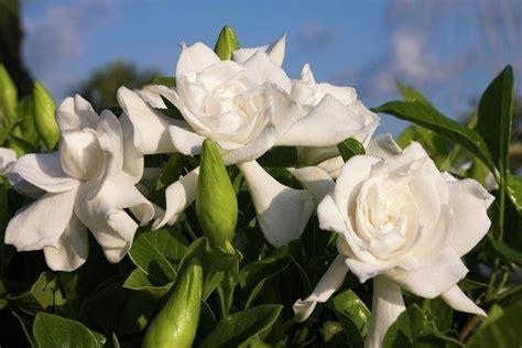 gardenia significato fiore gardenia piante appartamento coltivazione gardenia