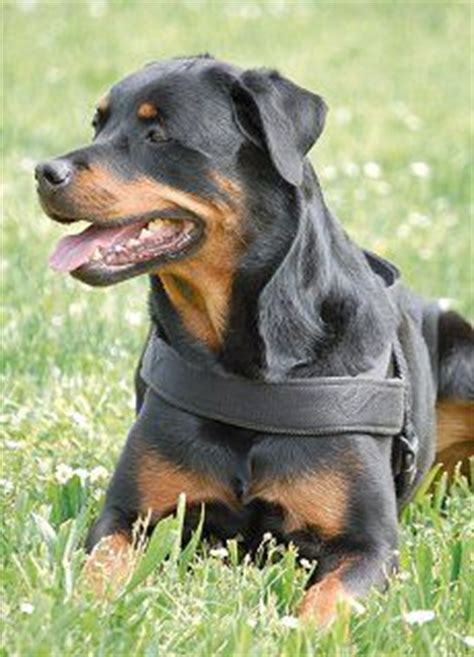 rottweiler breeds types 1000 images about for my rottweiler on rottweilers rottweiler and
