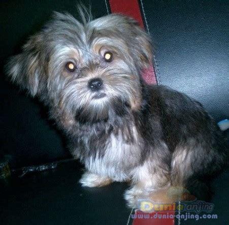 yorkie vs morkie dunia anjing jual anjing lainnya mix breed dijual anjing mixed yorkie vs shihtzu