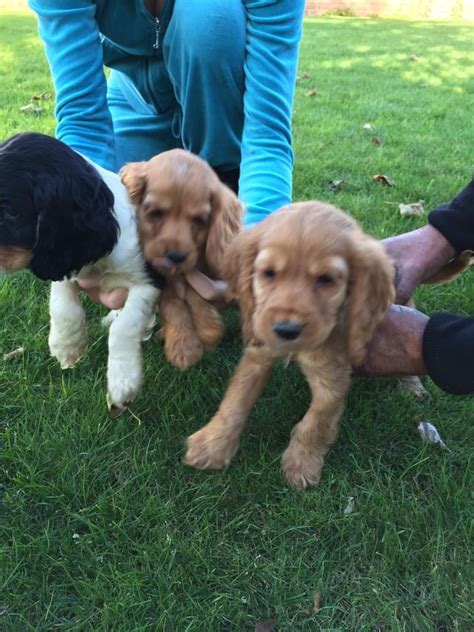 mini cocker spaniel puppies miniature cocker spaniel quotes