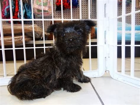 puppies for sale fort collins cairn terrier puppies dogs for sale in denver colorado co 19breeders fort